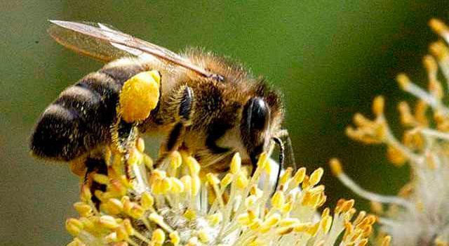 Пчела Карпатка на Кубани