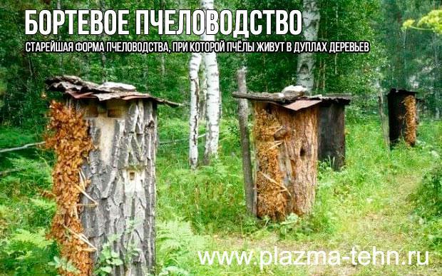 Бортевое пчеловодство, бортничество - пчёлы живут в дуплах деревьев