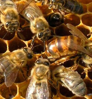 Бизнес по разведению пчел